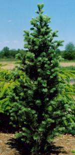 Oszlopos Kolorádói Jegenyefenyő Növény Enciklopédia