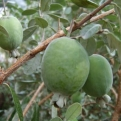 Acca sellowiana, Feijoa sellowiana `Coolidge`, K2 (Fidzsoa, Mirtuszfüge: Coolidge, K2)