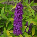 Buddleia davidii `Little Nugget` (Little Nugget nyáriorgona)