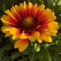 Gaillardia `Spintop Red Starburst` (Spintop Red Starburst kokárdavirág)