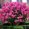 Lagerstroemia `Pre Rouge` (Pre Rouge selyemmirtusz)