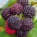 Rubus occidentalis `Black Jewel` (Black Jewel fekete málna)