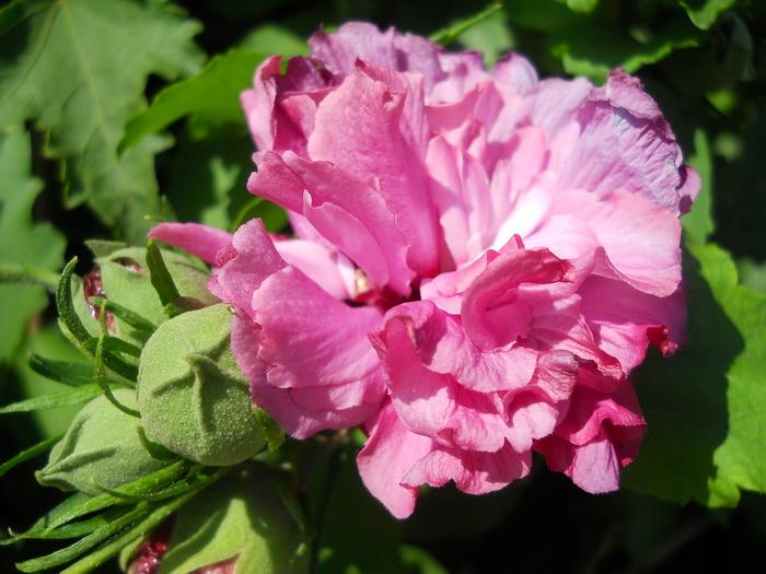 hibiscus syriacus 39 duc de brabant 39 sz riai m lyvacserje. Black Bedroom Furniture Sets. Home Design Ideas